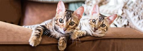 Stop Cat From Scratching Furniture by Stop Cat Scratching Furniture Prevention Tips Petsmart
