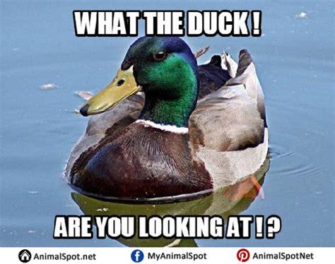 Mallard Duck Meme - duck memes