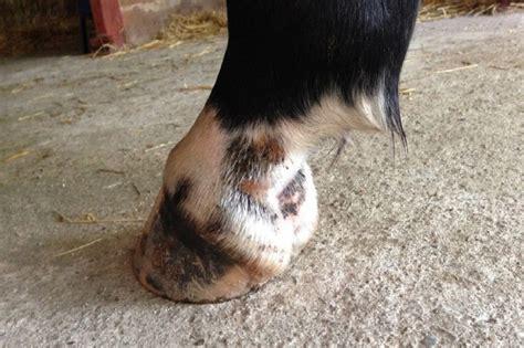 mauke beim pferd vorbeugung und behandlung das eigene pferd