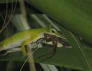 Tim's Fertile Turtles: Anole eating anole!