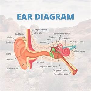 Ear Diagram In 2020