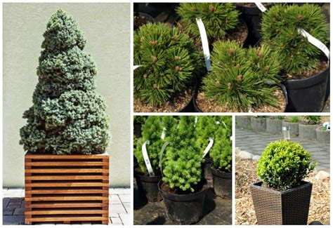 Do You Winter Gardening Blues by 7 Beautiful Evergreens That Are Well Suited For Growing