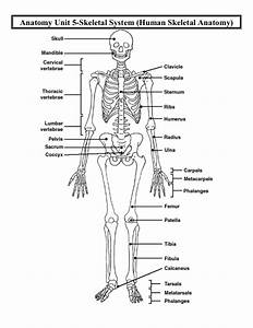 Anatomy Unit 5 Skeletal And Muscular Systems Human