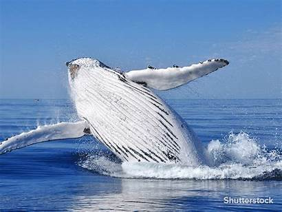 Humpback Whale Biomimicry Blade Action Whales Fins