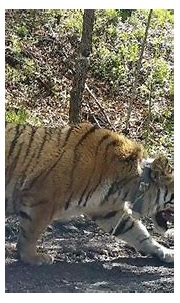 Rare Siberian tiger released back into wild in NE China ...
