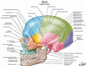 Human Skull Anatomy Diagram