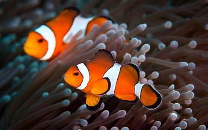 Wallpapers Fish Clown Clownfish