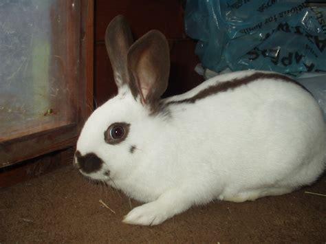 rabbit breeds pet rabbit breeds www imgkid com the image kid has it
