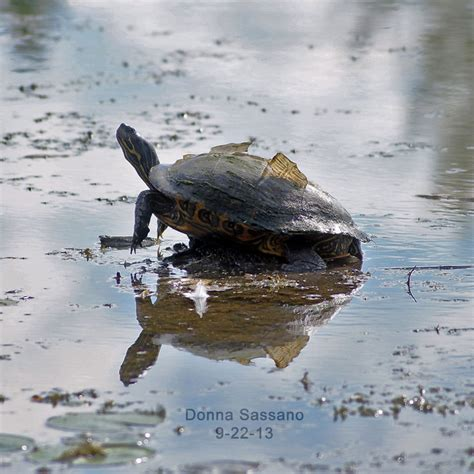 shedding turtle viewbug com