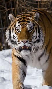 Siberian tiger, winter iPhone X 8,7,6,5,4,3GS wallpaper ...