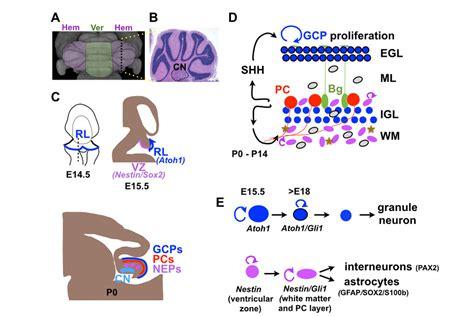 the alexandra joyner lab cerebellum development and regeneration memorial sloan kettering