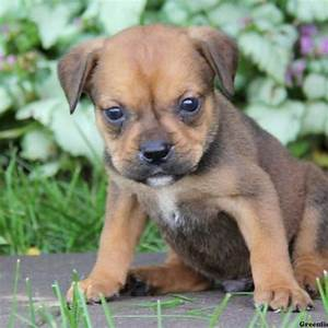 Dachshund mix puppies for sale near me – Dogs in our life ...