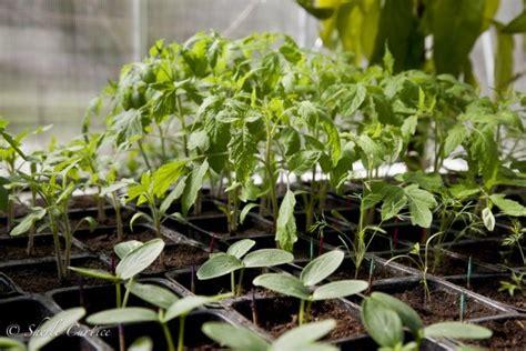 grow light seedlings starting seedlings under grow lights vs natural light