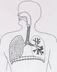 Respiratory System Unlabeled Diagram of Human