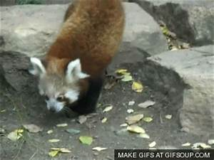 A collection of my favourite Red Panda gifs. - Album on Imgur