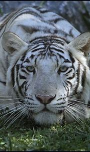 White Siberian Tiger | I met this 1 year-old female at the ...