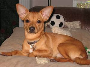 Lil' Ricky was the funniest Chihuahua/Rat Terrier mix ever ...
