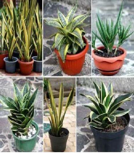 mengenal lebih dekat tanaman sansevieria