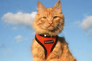 adventure cat this majestic kitty hikes swims and even skis