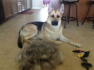 which dogs do not shed their coat 15 things you should never say to a german shepherd owner