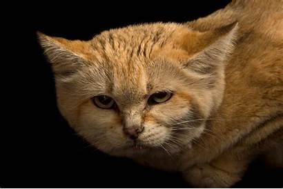 Sand Cat Arabian Rare Cats National Geographic