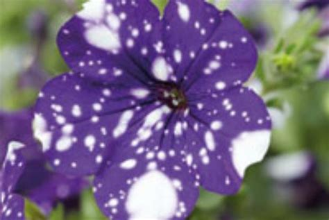 Cool Product Alert The Petunia Sky Plant by Petunia Nightsky Hits Garden Centres Horticulture Week