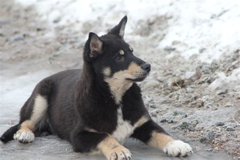 lapponian herder info temperament puppies pictures