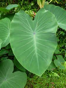 big leaf garden plants large leaf plant in botanical garden flickr photo sharing