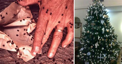 black bugs on christmas tree is your tree crawling with bugs here s how to find out davidwolfe
