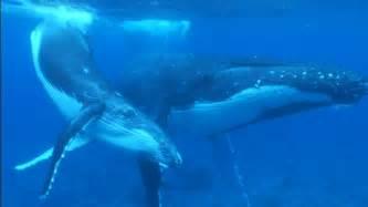 クジラ:紀行・教養 3D紀行Ⅴ タヒチ 親子クジラと泳ぐ旅 | BS11
