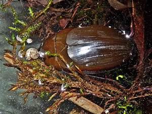 Großer Schwarzer Käfer Bilder : seltener k fer in unserem teich hydrous piceus lehrte ~ Frokenaadalensverden.com Haus und Dekorationen