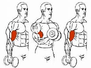 Ilustration Of The Exercise Unilateral Biceps Curl