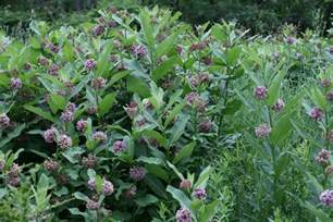 Common Milkweed Plant