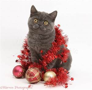Grey kitten with Christmas decorations photo WP19946