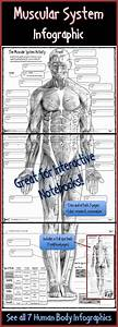 Muscular System Infographic