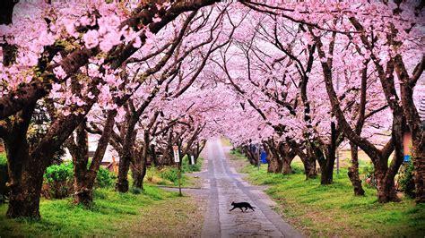 Droga, Kwitnące, Drzewa, Kot, Wiosna