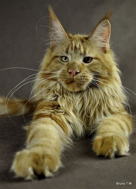 Do Maine Coons Shed Their Mane by 17 Best Images About Beautiful Maine Coon Cats On