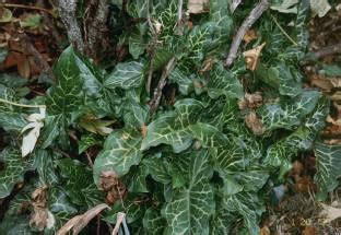 arum propagation ky garden flowers arum to astilbe