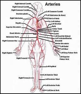 Veins Capillaries Arteries