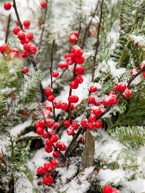 shrub with berries in winter shrubs with winter interest
