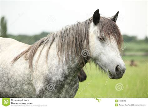 fell pony grey mare nice pasturage summer royalty preview