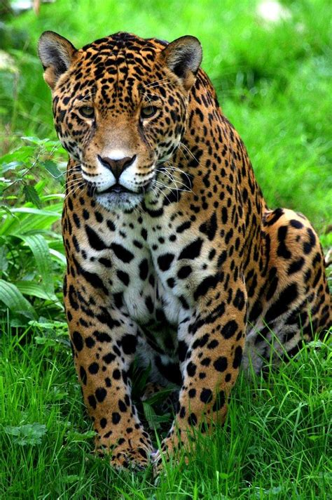 Jaguar Picture by Picture 6 Of 11 Jaguar Panthera Onca Pictures Images