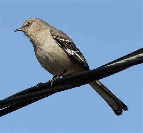 northern mockingbird information traderscreek com