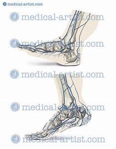Foot Anatomy Veins