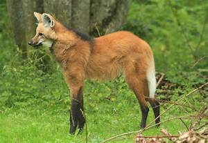 Maned Wolf by CamStatic on DeviantArt