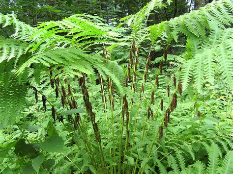 what of plant is this osmunda claytoniana interrupted fern go botany