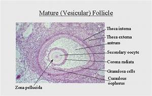 31  The Anatomy  Histology And Development Of The Ovary