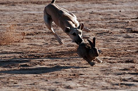 hare coursing wikipedia