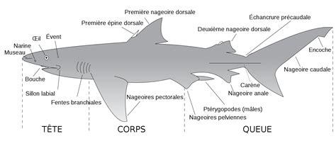 File:Parts of a shark Descriptif-requin French.svg.png ...