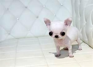 Teacup Applehead Chihuahua | Applehead Teacup Chihuahua ...